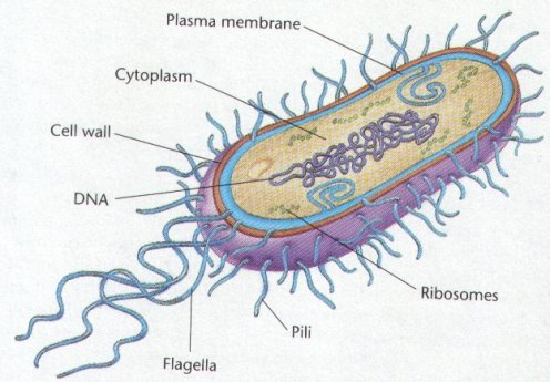 Archaebacteria Structure