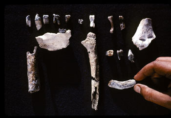 ardipithecus-ramidus-fossil-evidence