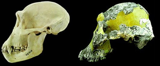australopethicus-afarensis-fragment-and-chimp-skull
