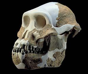australopithecus-afarensis-evidence