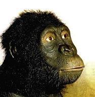 australopithecus anamensis-recon 1