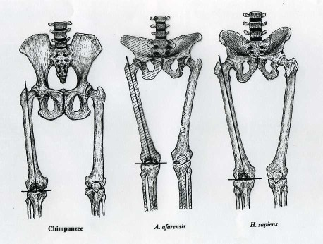 femur-comparison