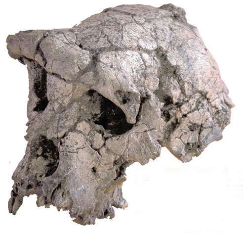 fossil from Chad of sahelanthropus-tchadensis TOUMAI