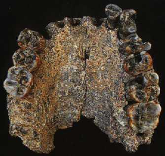 al_666-1 Homo habilis