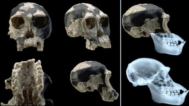 Habilis and Chimpanzee