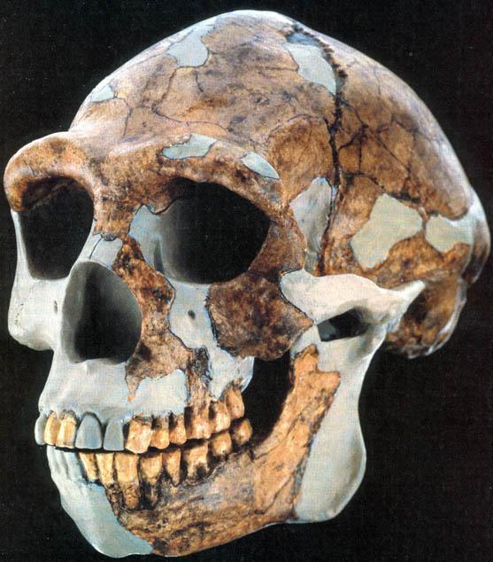 homo-erectuserectus