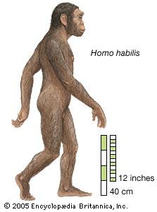 homo-habilis3