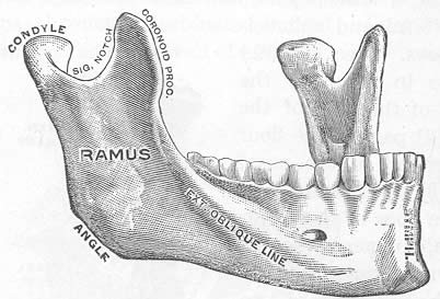 human-mandible