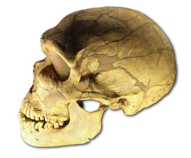 neanderthal-ferrassie_skull