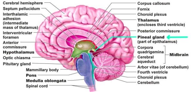 brain-pineal